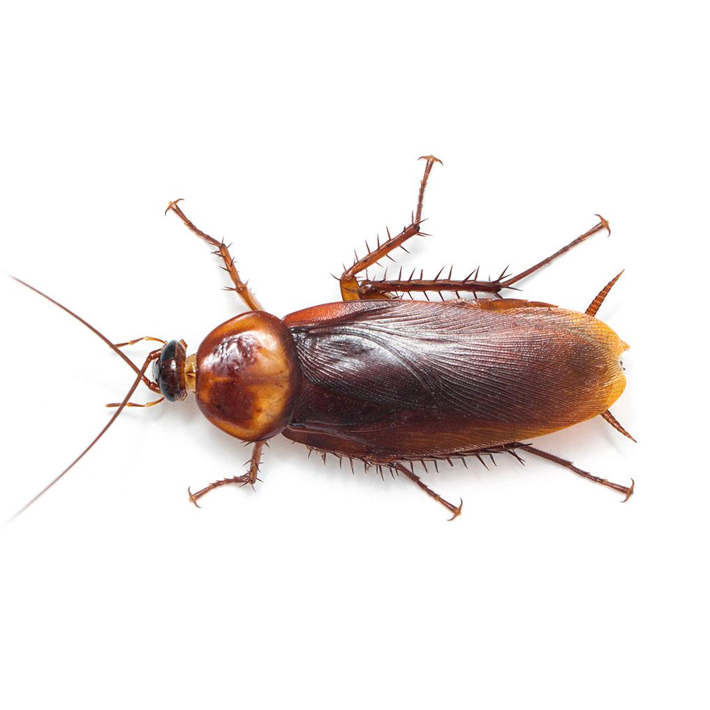 exterminator-pasco-roaches