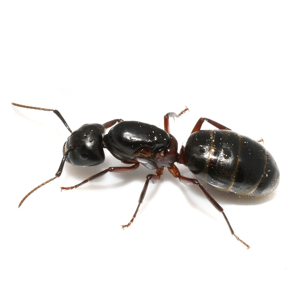 Ant Control Pasco County