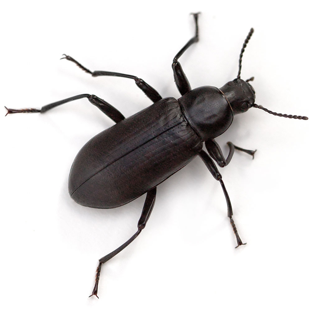 Beetle pest control pasco county