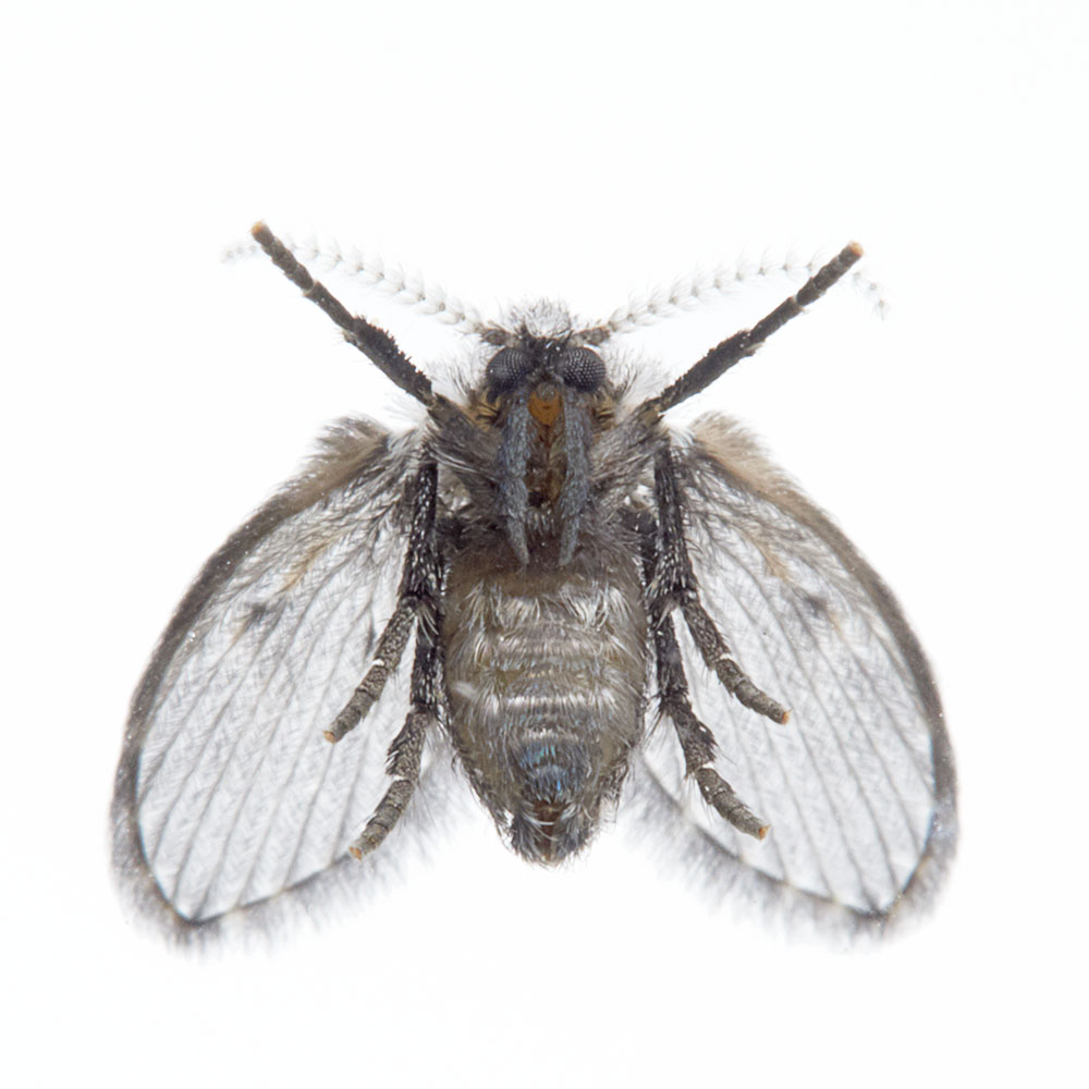 Drain fly pest control pasco county