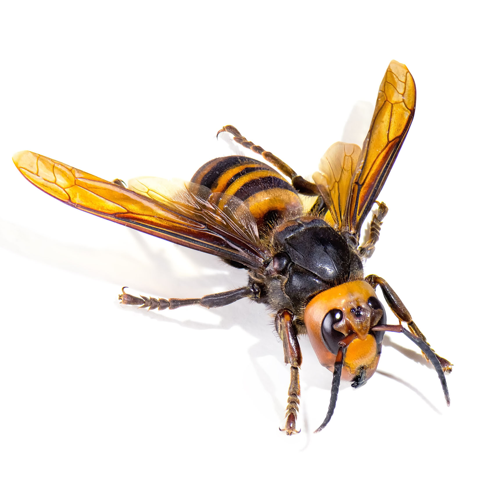 Hornet Pest Control Pasco County