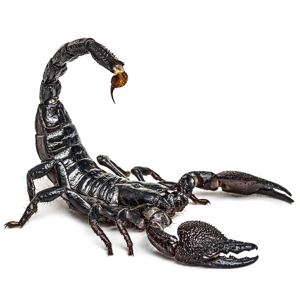 Scorpion Pest Control Service Pasco County