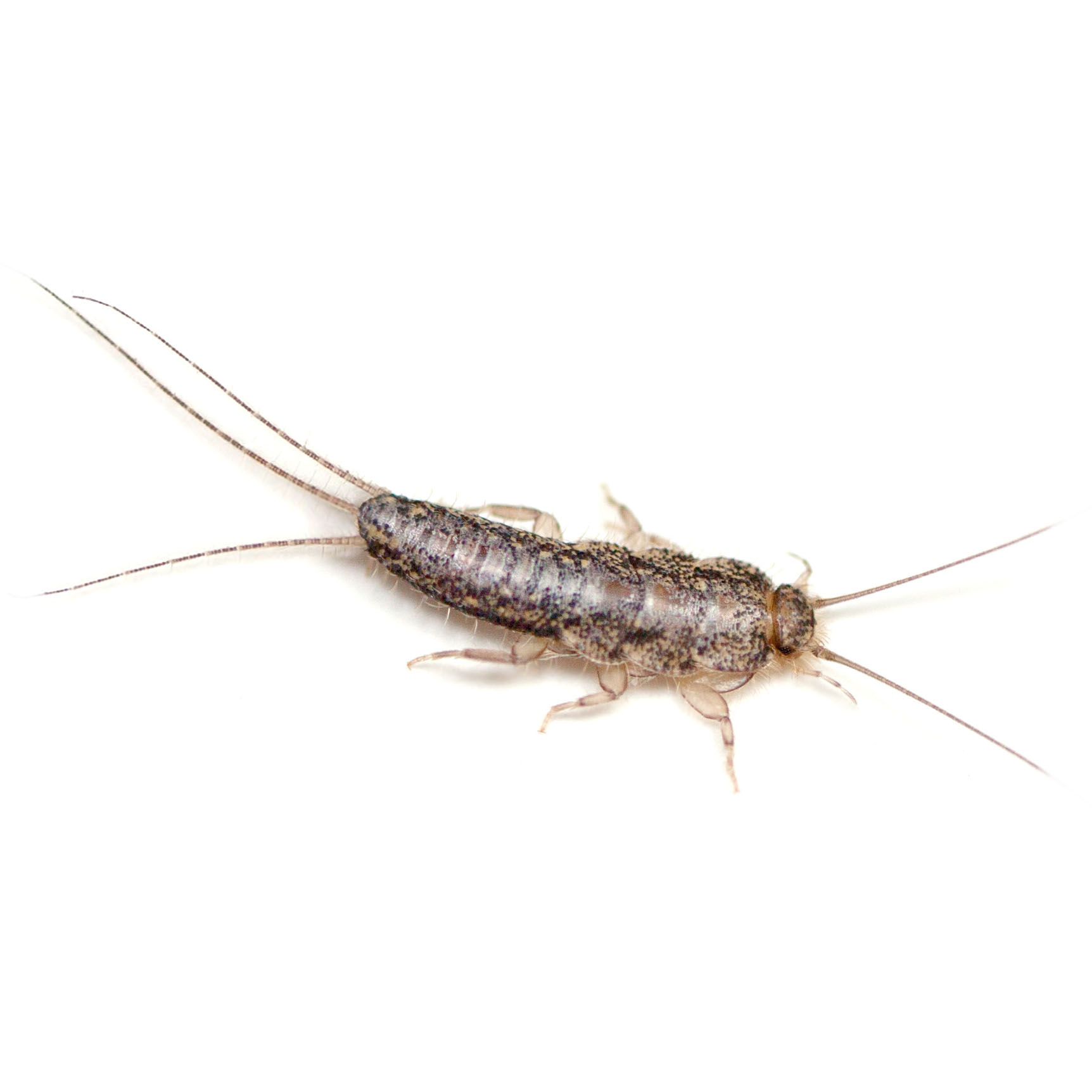 Silverfish pest control pasco county