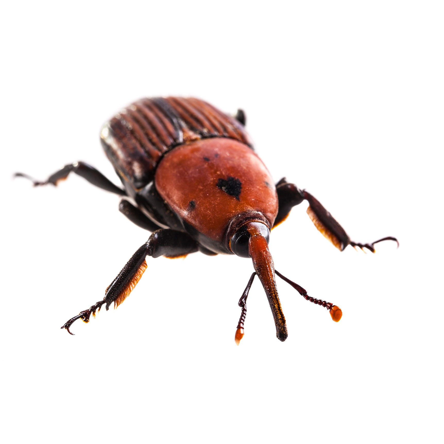 Weevil pest control pasco county